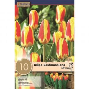 Kapiteyn Tulipa Kaufmanniana